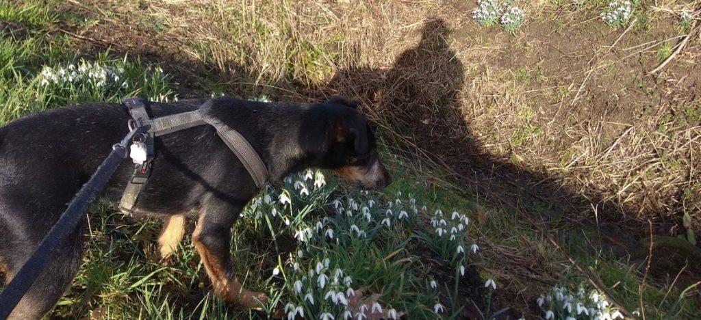 Rocky begutachtet die Schneeglöckchen