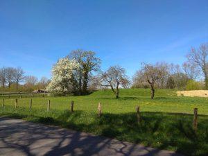 Blühende Bäume am Twerenfeldweg in Roxel