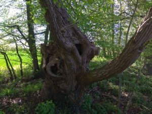 Baumstamm im Beckfeld nahe der Hohenholte Straße in Roxel