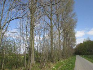 Wegebäume am Rüschenfeld in Roxel