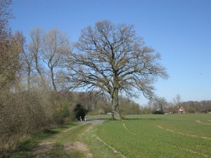 Imposante Eiche im Schonebeck in der Nähe von Burg Hülshoff