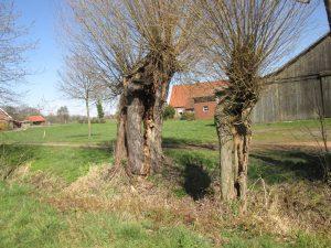 Alte Weiden in der Bauernschaft Waltrup in Hohenholte