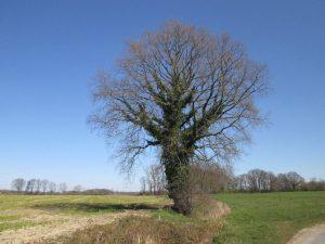 Efeuumrankter Baum in der Nähe von Hohenholte